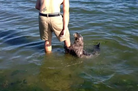 Video: Friendly sea otter plays with man on Vancouver Island beach | Reflections on two islands | Scoop.it