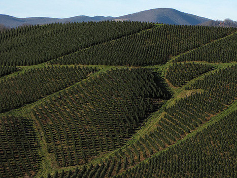 Great Harvest For NC Christmas Tree Farmers | North Carolina Agriculture | Scoop.it