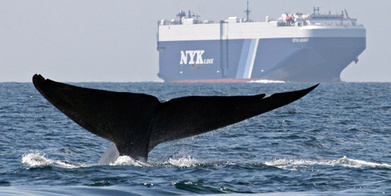 Whale meat ship returns to Iceland: 'No one wants it' - New Zealand Herald | Vegan going mainstream | Scoop.it