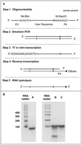 Methods for the Preparation of Large Quantities of Complex Single-Stranded Oligonucleotide Libraries   SynBioFromLeukipposInstitute   Scoop.it