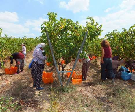 A Revived Grape Harvest in Thrace | Wine News | Scoop.it