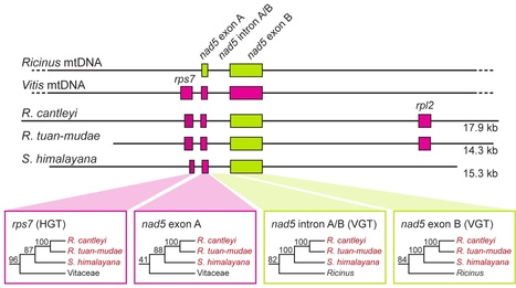 PLOS Genetics: Massive Mitochondrial Gene Transfer in a Parasitic Flowering Plant Clade (2013) | Plant Pathogenomics | Scoop.it