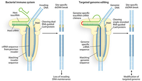 Biotechnology: Rewriting a genome | NBIC Technologies - Sonia Halhol | Scoop.it