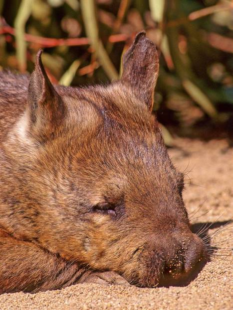 Australian Wombats Starving to Death: Food supply hit by killer plants | Biodiversity IS Life  – #Conservation #Ecosystems #Wildlife #Rivers #Forests #Environment | Scoop.it