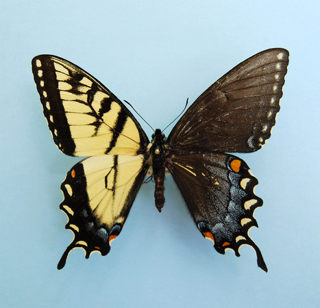 Spectacular Genetic Anomaly Results in Butterflies with Male and Female Wings | Books, Photo, Video and Film | Scoop.it