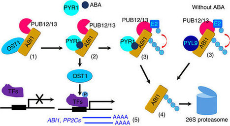 Degradation of the ABA co-receptor ABI1 by PUB12/13 U-box E3 ligases : Nature Communications : Nature Publishing Group | Plant-microbe interaction | Scoop.it