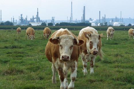 Vache à effet de serre: Comment l'élevage industriel met en danger l'humanité | love this planet | Scoop.it