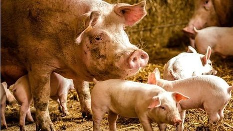 Pig farmers struggle with falling prices, World Business Report - BBC World Service | Scarcity, Opportunity cost, PPFs, Demand and Supply - Econ basics | Scoop.it