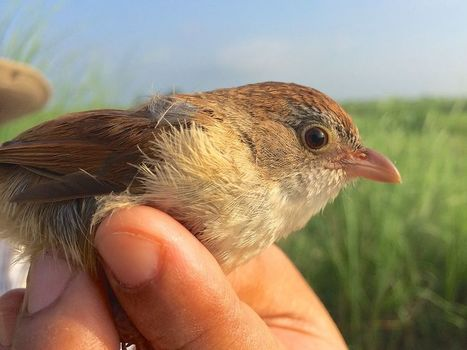 'Extinct' Bird Rediscovered in Myanmar, Surprising Scientists | Wildlife and Environmental Conservation | Scoop.it