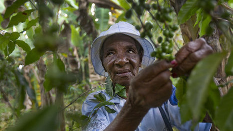 Climate Change Has Coffee Growers In Haiti Seeking Higher Ground | Coffee News | Scoop.it