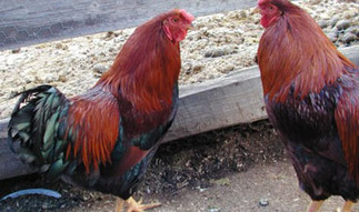 Minneapolis Signs Urban-Farming Policy to Protect Chickens | Vertical Farm - Food Factory | Scoop.it