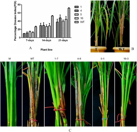 Rice oxalate oxidase gene driven by green tissue-specific promoter increases tolerance to sheath blight pathogen (Rhizoctonia solani) in transgenic rice | Plant-Microbe Interaction | Scoop.it