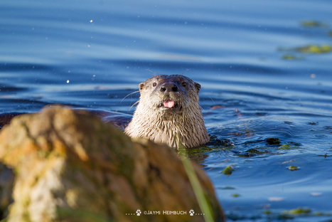 The one important way we completely undervalue river otters | animals and prosocial capacities | Scoop.it