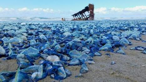 Pictures: Billions of Blue Jellyfish Wash Up on California Beaches | Biodiversity protection | Scoop.it