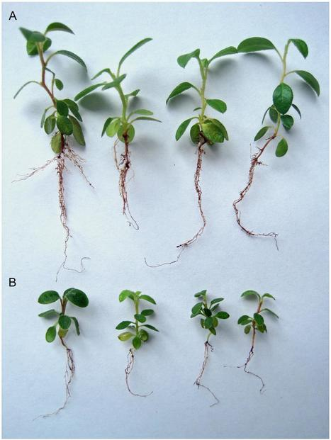 A New Oidiodendron maius Strain Isolated from Rhododendron fortunei and its Effects on Nitrogen Uptake and Plant Growth   MycorWeb Plant-Microbe Interactions   Scoop.it