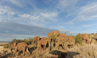 Elephant poaching - The Guardian | Kruger & African Wildlife | Scoop.it