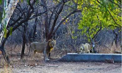 India acts to save Asiatic lion by moving it – but hard work has only just begun | Wildlife and Environmental Conservation | Scoop.it