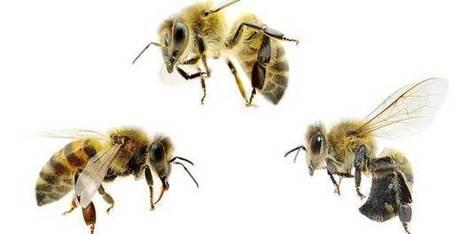 La disparition des abeilles coûterait 14 milliards €   ECOLOGIE_DEVELOPPEMENT DURABLE   Scoop.it