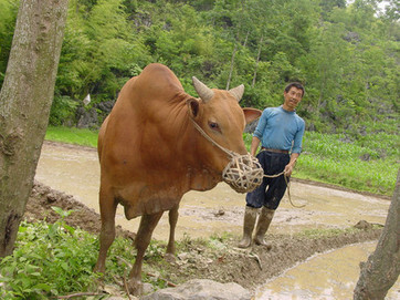 Chinese beef prices soar as local cattle herds shrink - GlobalMeatNews.com   Beef Facts   Scoop.it