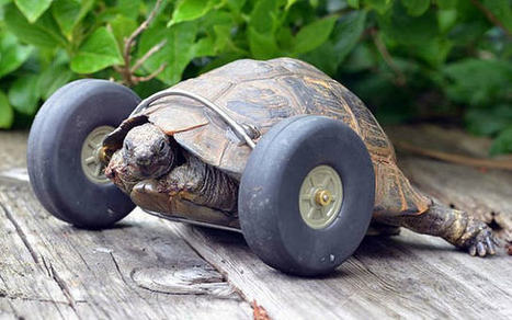 Tortuga de 90 años volvió a caminar gracias al ingenio de sus dueños | Agua | Scoop.it