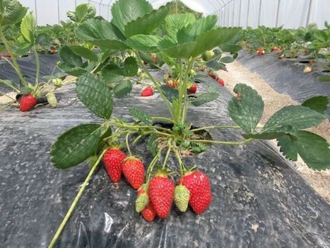 YAP proposal #122: Planting strawberry in Greenhouse (Fisnik Shaqiri, Kosovo) | FTN press review | Scoop.it