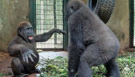 Orphaned Gorilla FLIPS OUT When He Meets A New Friend | Compassion in Action | Scoop.it