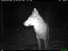 Cameras Catch Coyotes as They Take Manhattan [Slide Show] | Sustain Our Earth | Scoop.it