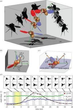 Tiny magnets used to upset flight of fruit flies to study their abilities (w/ Video) | animals and prosocial capacities | Scoop.it