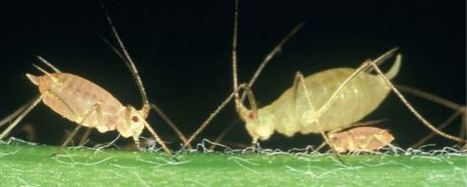 Les pucerons (1re partie)   EntomoScience   Scoop.it