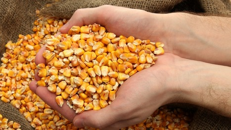 China doesn't want our genetically modified corn | Food issues | Scoop.it