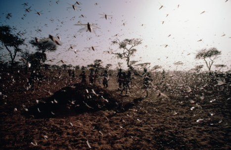 Why the death of Gaddafi caused a plague of locusts in Africa as despot's pest control system disintegrates | Saif al Islam | Scoop.it