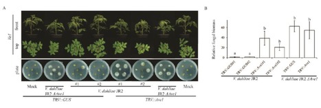 Molecular Plant Pathology (2016):Host-induced gene silencing compromises Verticillium wilt in tomato and Arabidopsis | WU_Phyto-Publications | Scoop.it