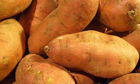 Researchers find the genome of the cultivated sweet potato has bacterial DNA | leapmind | Scoop.it