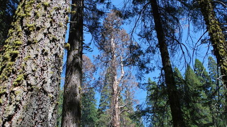 Giant Sequoias Struggle with Drought | Plant Biology Teaching Resources (Higher Education) | Scoop.it