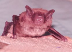 How Bats Stay On Target Despite The Clutter | Skylarkers | Scoop.it