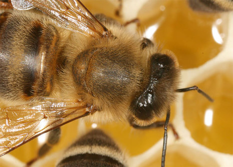 Honeybees Can Move Each Other With Electric Fields | Biomimicry | Scoop.it