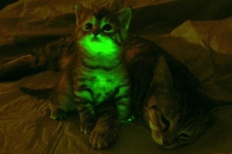 Gatos fluorescentes resistentes a la infección del virus del sida | Sida y Hepatitis | elmundo.es | apaga la tele | Scoop.it