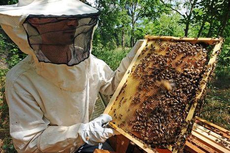 Des apiculteurs contraints de demander des dons d'essaims - Libération   Abeilles, intoxications et informations   Scoop.it