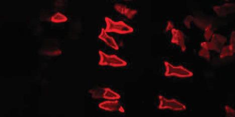 Des nanorobots injectés dans un liquide pour supprimer les toxines   Chair et Métal - L'Humanité augmentée   Scoop.it