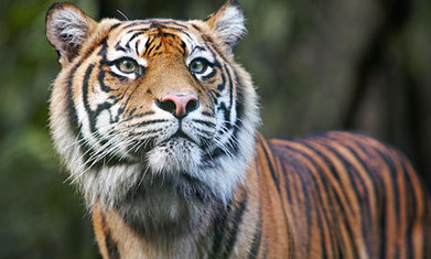 Sumatran tiger even rarer than previously thought –study | Where do Conservationists stand in the fight against poaching and habitat loss? | Scoop.it