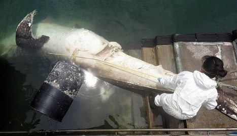 Decomposing 'whale shark' five metres long found off Cheung Chau in Hong Kong with nylon rope around its tail | All about water, the oceans, environmental issues | Scoop.it