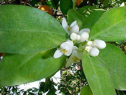 Arizona Gardeners: Protect fruit tree blossoms to reap best possible yield | CALS in the News | Scoop.it