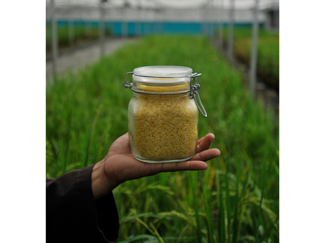 Golden Rice: Lifesaver? | The Global Village | Scoop.it
