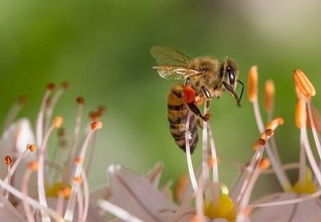 Une nouvelle étude mesure l'impact direct des abeilles sur les rendements agricoles - Médiaterre | Evaluation d'impact environnemental | Scoop.it