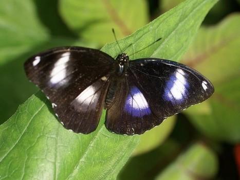 Photos de papillons exotiques : Hypolimnas bolina - Great eggfly | Fauna Free Pics - Public Domain - Photos gratuites d'animaux | Scoop.it