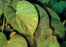 Cara Mengatasi Hepatitis Pakai Ramuan Obat Tradisional | Ulan News | Chiee UL Chabellhee Dear | Scoop.it