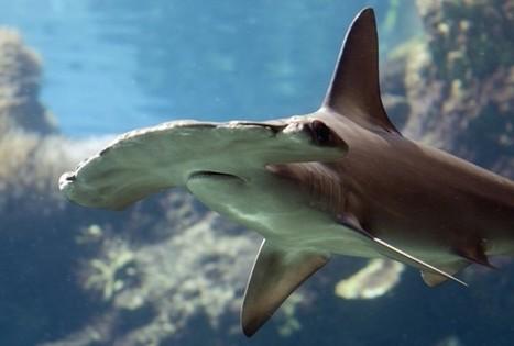 En congrés cette semaine , L'UICN, à Jeju en Corée un appel pour la sauvegarde de requins et de raie en danger | Rays' world - Le monde des raies | Scoop.it