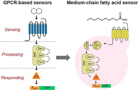 GPCR-Based Chemical Biosensors for Medium-Chain Fatty Acids | SynBioFromLeukipposInstitute | Scoop.it