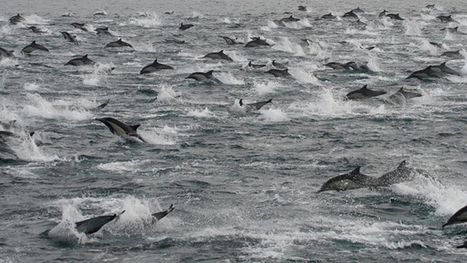 'Super mega-pod' of dolphins spotted off San Diego coast | Sustain Our Earth | Scoop.it