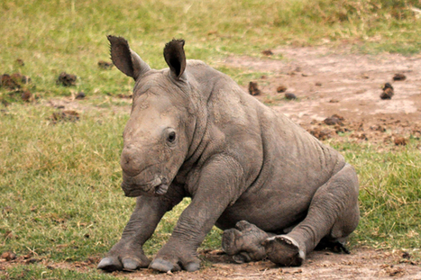 This Miracle Baby Rhino Has the Best Birth Story Ever - TakePart | Rhino Poaching South Africa  & Accross the Globe | Scoop.it